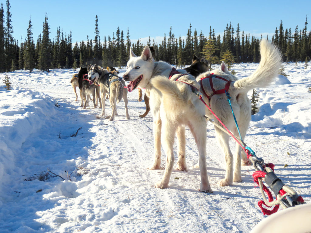 """Dog sledding or """"mushing is a way that Alaskans use to get around in the winter. This photo is of the Alaskan sled dogs ready to run."""